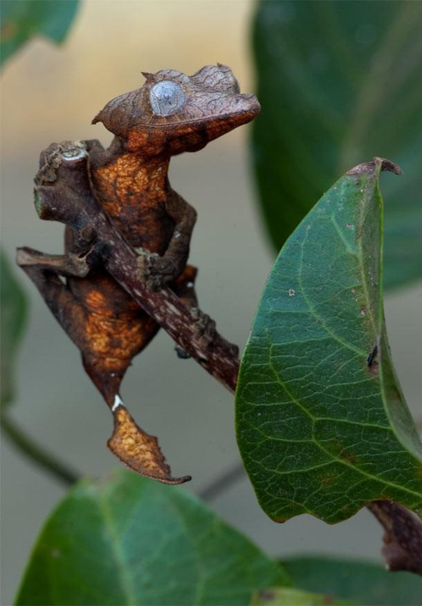 leaftailedlizard-610x876