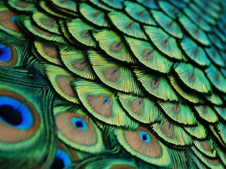 peacock-feathers-florida_56547_990x742