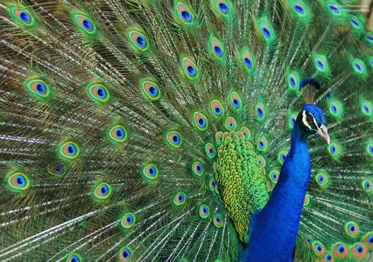 peacock_by_michael__fitzsimmons-d68y3ik