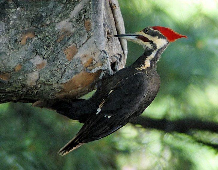 769px-Woodpecker_20040529_151837_1c