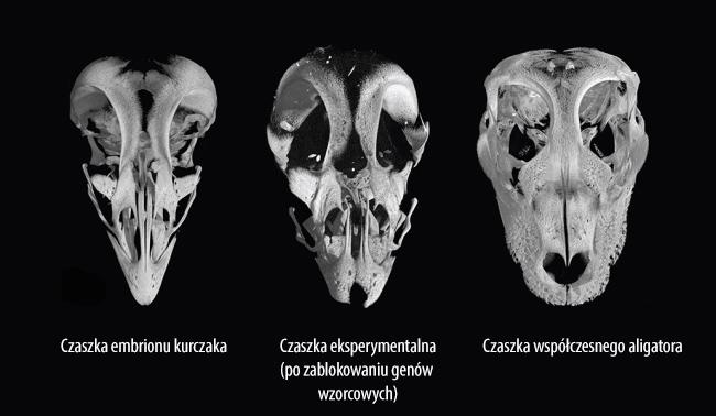 czaszka-czikenozaura