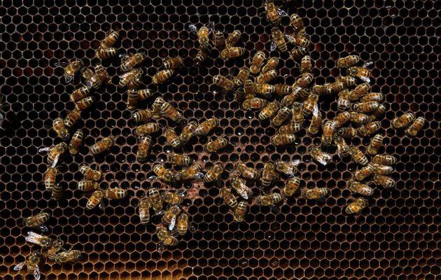 pszczoly-owady-1-ciekawe