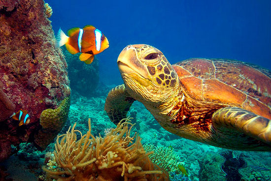 the-great-barrier-reef-facts-for-kids-turtle-and-clownfish