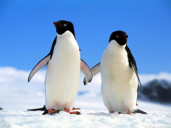 Mroczna prawda o słodkich pingwinach