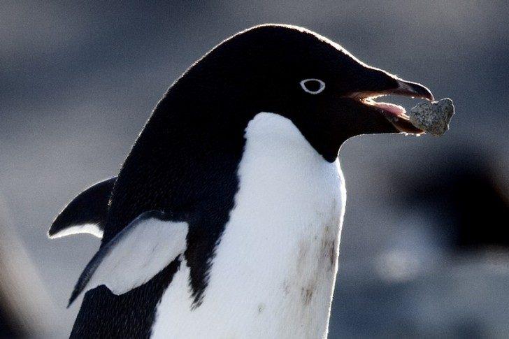 pingwiny-2-ciekawe
