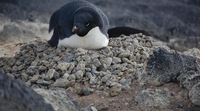 pingwiny-3-ciekawe
