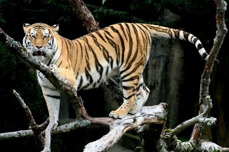 Dlaczego tygrys ma paski? Odpowiedź tkwi w matematyce