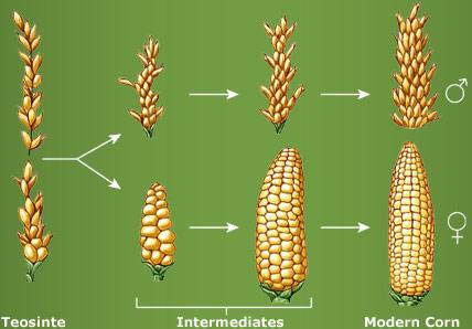 kukurydza-modyfikacjami