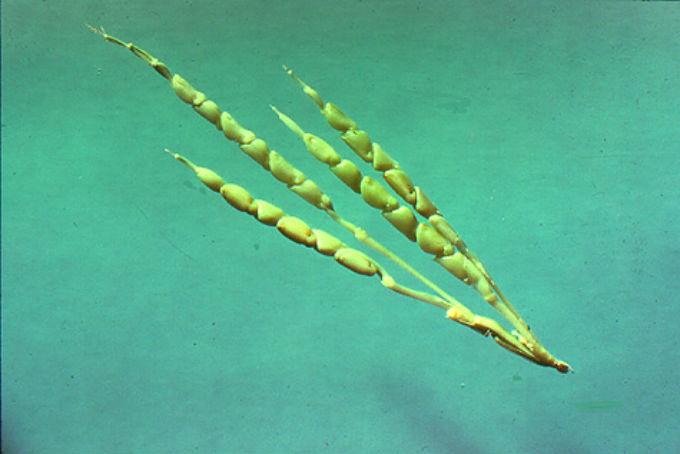 kukurydza-przed-modyfikacjami