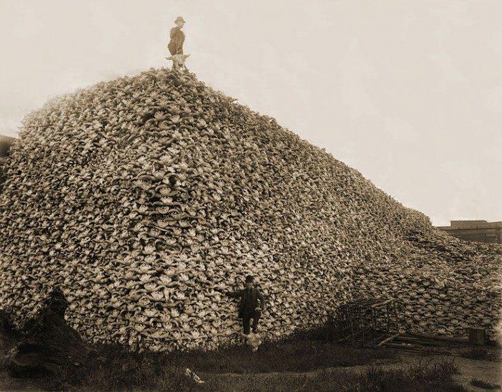 767px-Bison_skull_pile-restored