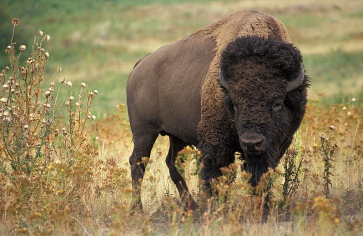 Jak wybito, i nadal wybija się, amerykańskie bizony