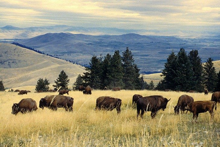 800px-Bison_herd_grazing_at_the_National_Bison_Range