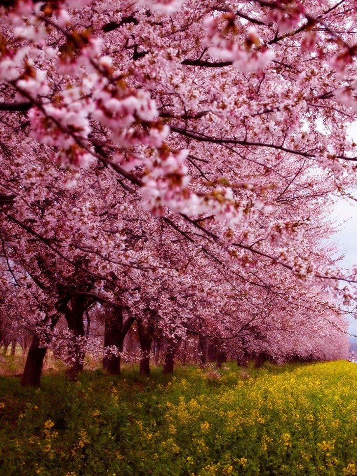 cherry-blossom-sakura-12