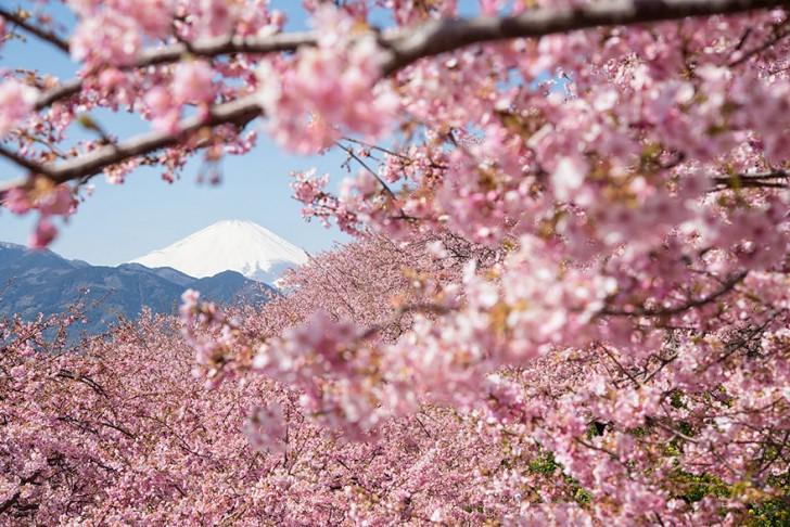 cherry-blossom-sakura-14