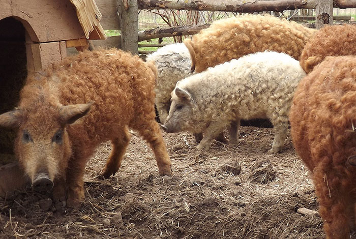 meet-furry-pigs-that-look-like-sheep-and-act-like-dogs-11015