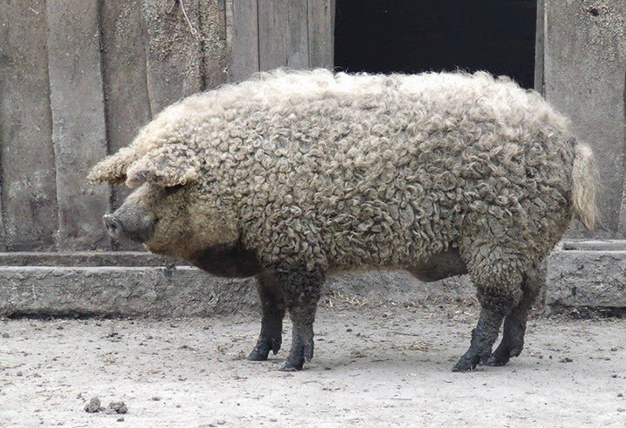 meet-furry-pigs-that-look-like-sheep-and-act-like-dogs-23367