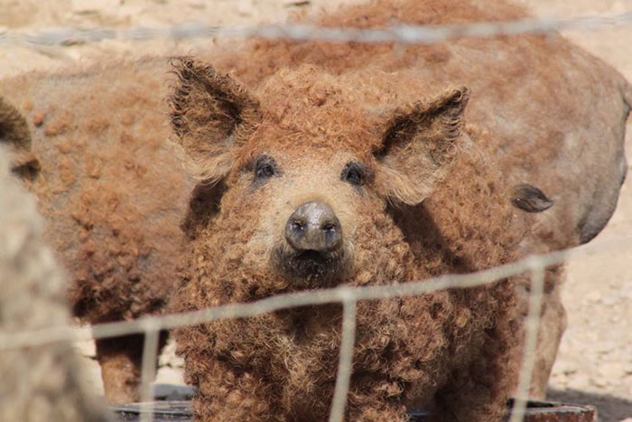 meet-furry-pigs-that-look-like-sheep-and-act-like-dogs-32554