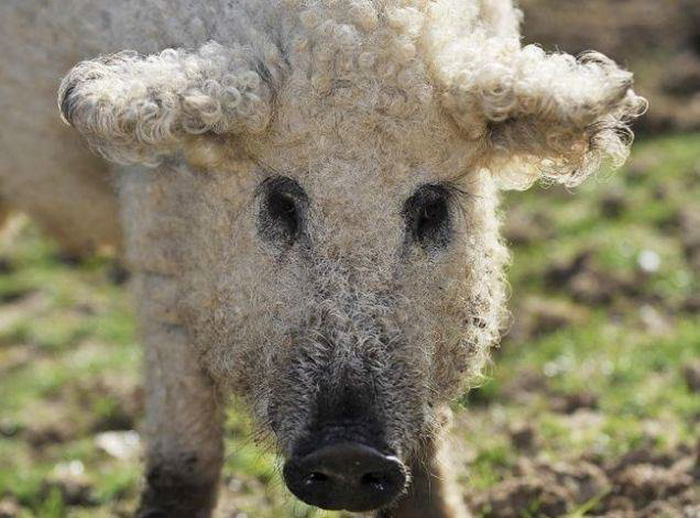 meet-furry-pigs-that-look-like-sheep-and-act-like-dogs-37776