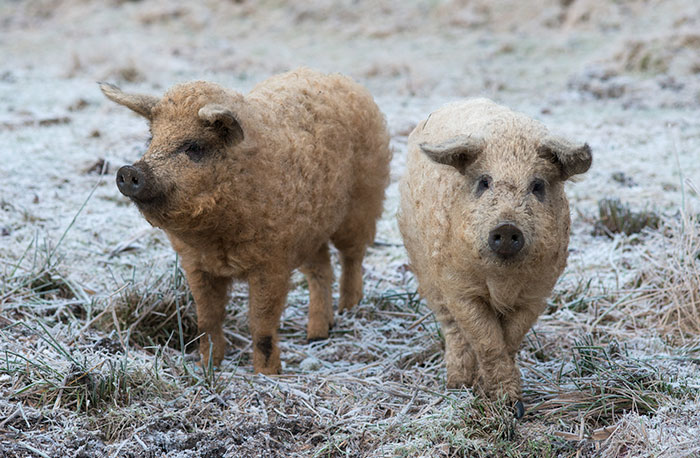 meet-furry-pigs-that-look-like-sheep-and-act-like-dogs-42623