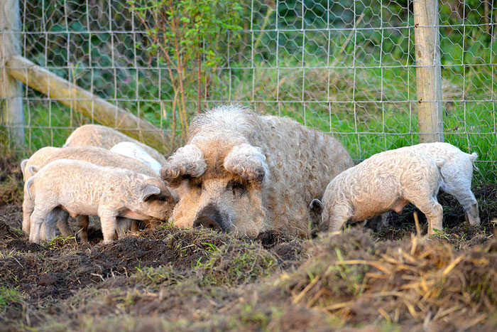 meet-furry-pigs-that-look-like-sheep-and-act-like-dogs-69316