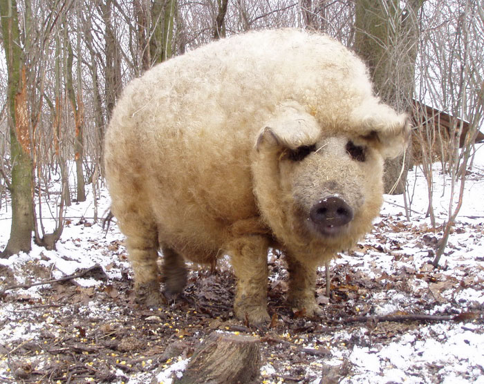 meet-furry-pigs-that-look-like-sheep-and-act-like-dogs-96238