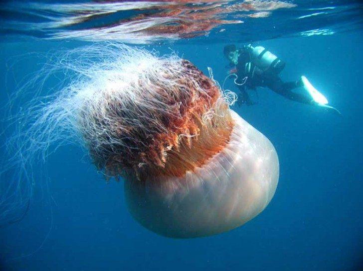 nomura-jellyfish-2