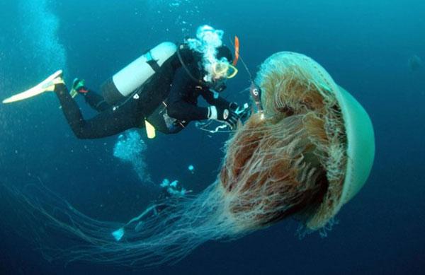 nomura-jellyfish