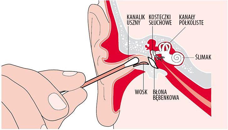 ucho-budowa