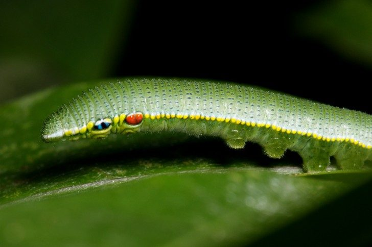 Caterpillar of Hebomoia glaucippe formosana-2