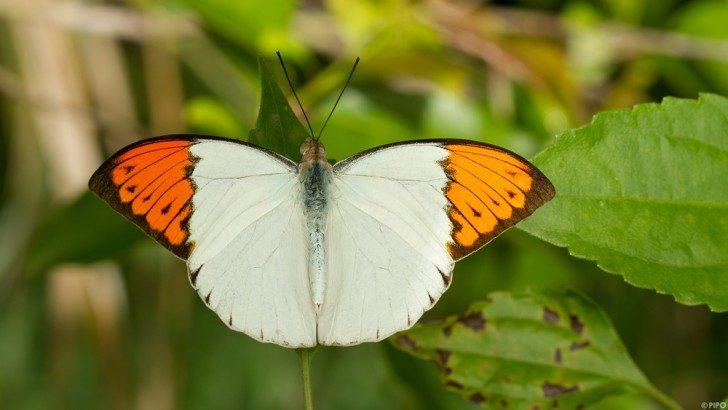 Hebomoia glaucippe formosana