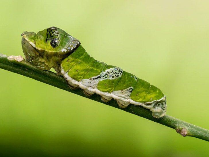 Papilio_demodocus_larva_Stratford_Butterfly_Farm_(1)