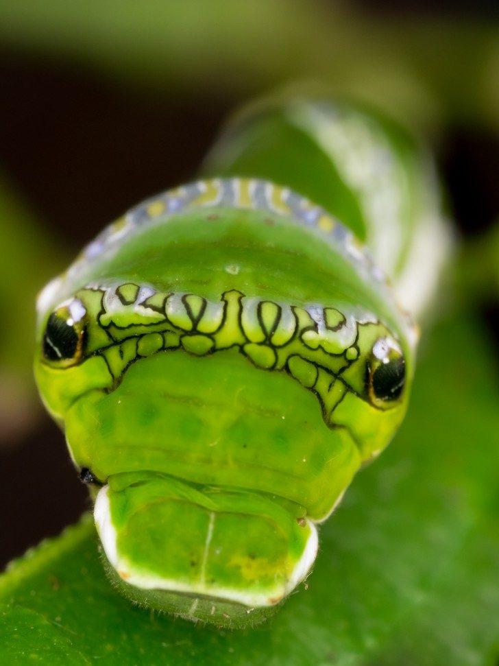 Papilio_demodocus_larva_Stratford_Butterfly_Farm_(2)