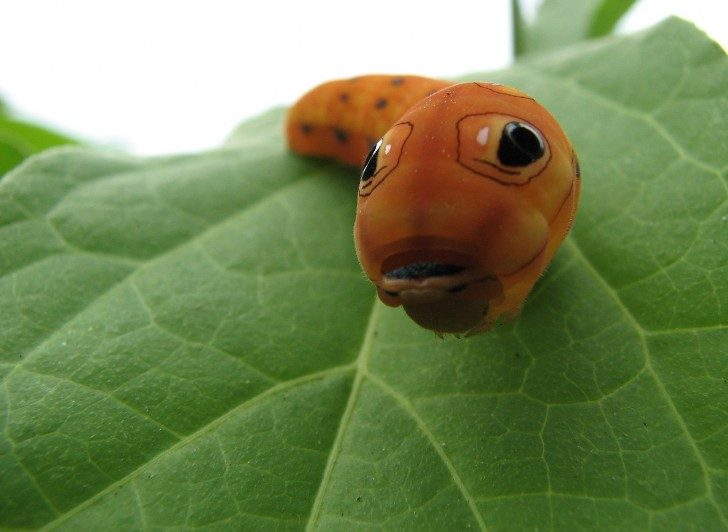 Spicebush_swallowtail_caterpillar_head
