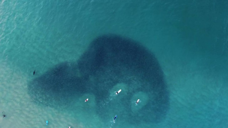 Dron uchwycił niesamowity film z foką pływającą pośród ławicy ryb