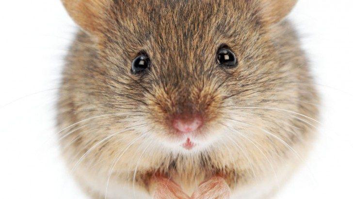 nerwy-mysz