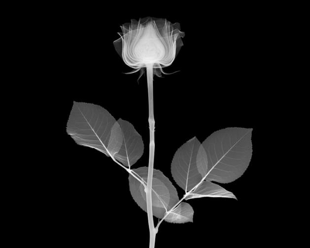 nick_veasey_rose