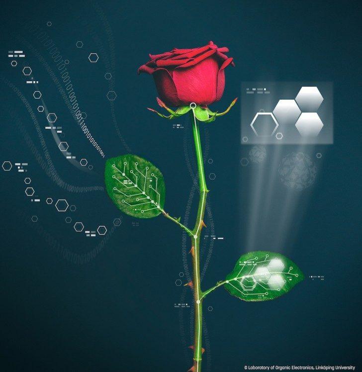 Ta ilustracja pokazuje układ naczyniowy w roślinie róży. Linköping University