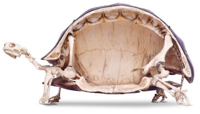 Szkielet żółwia lądowego (przekrój)