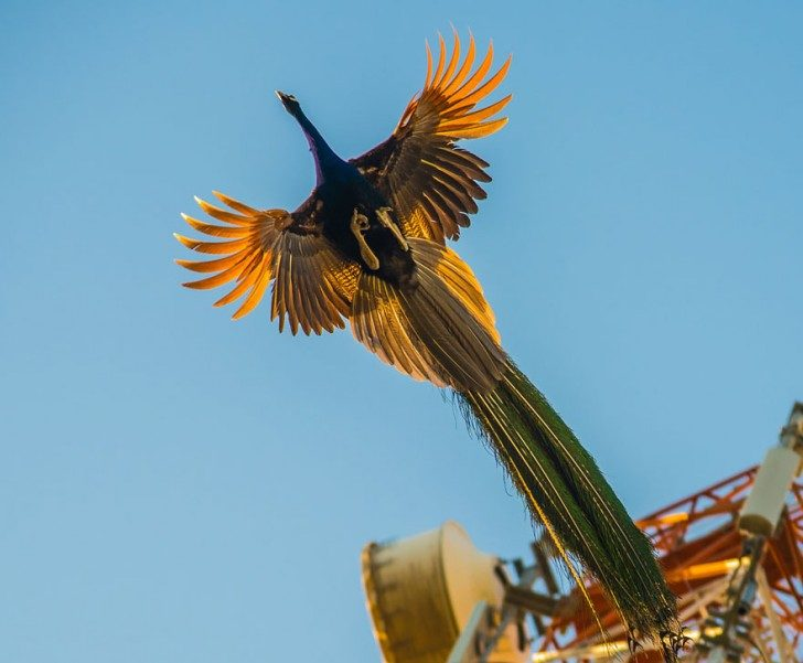 stunning-photos-of-peacocks-in-mid-flight-38998