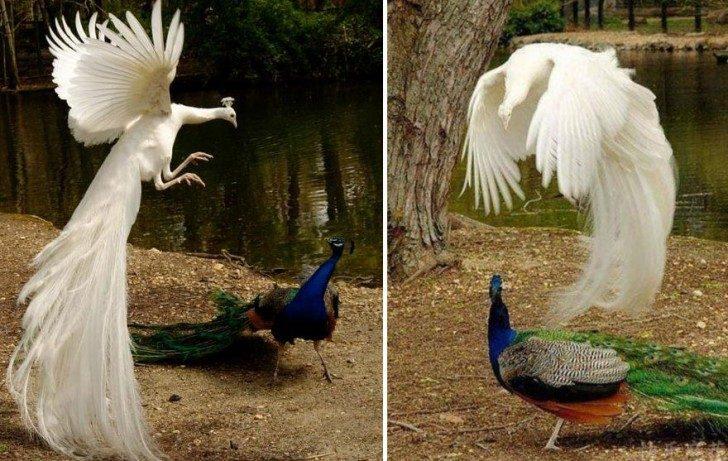 stunning-photos-of-peacocks-in-mid-flight-39767