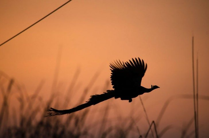 stunning-photos-of-peacocks-in-mid-flight-63077