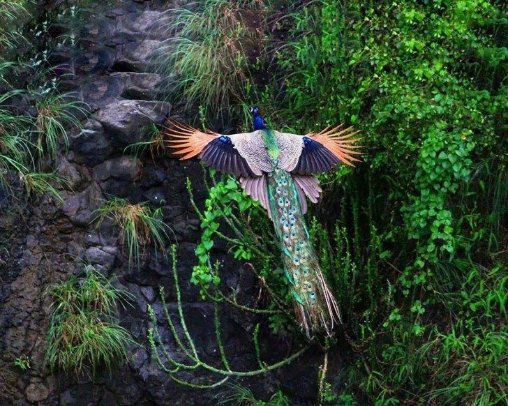 stunning-photos-of-peacocks-in-mid-flight-72318