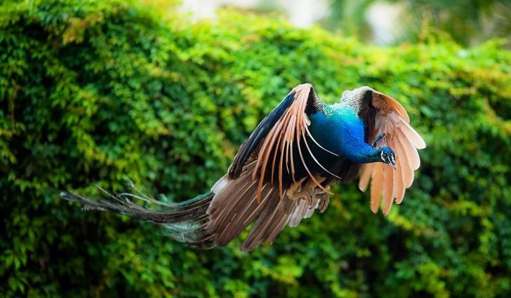 Czy pawie potrafią latać?