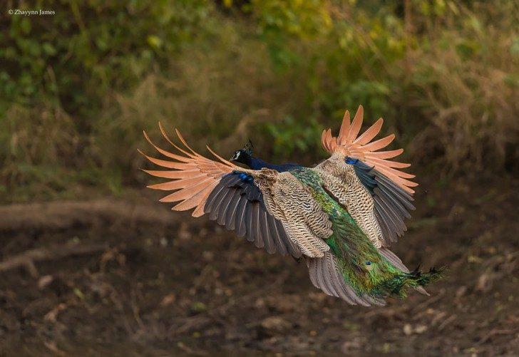 stunning-photos-of-peacocks-in-mid-flight-96274
