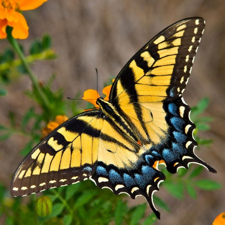 tiger-swallowtail-butterfly-tom-hirtreiter