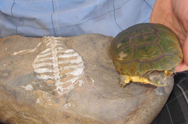 Szerokie żebra Eunotosaurus Afrykańskiego (po lewej) ewoluowały zagnieżdżenie ale później rozwinęły się skorupy żółwia nowoczesnej