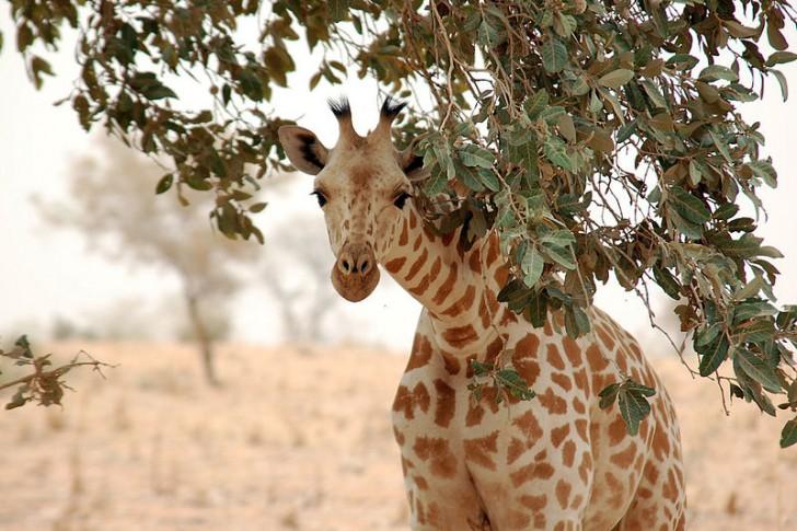 800px-giraffe_koure_niger_2006