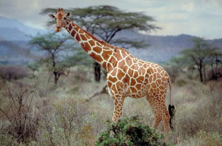 somali_or_reticulated_giraffe__600