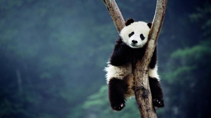 panda-cubs-bing-images