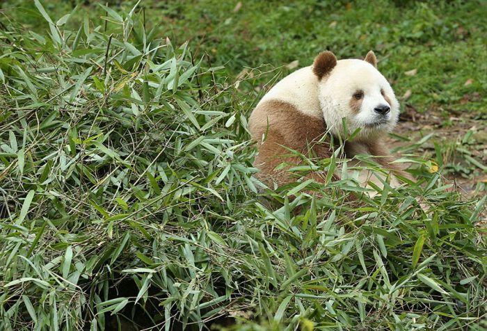 abandoned_brown_panda_01
